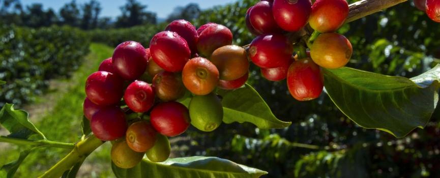 От ягоды до чашки. Путь кофе