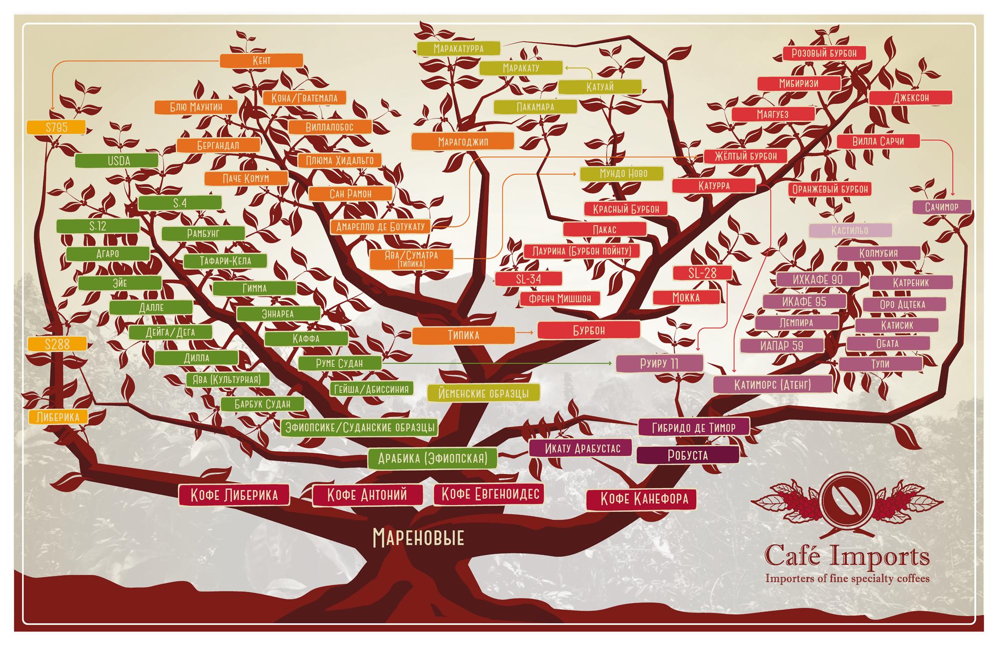 Линейка основных ботанических разновидностей кофе